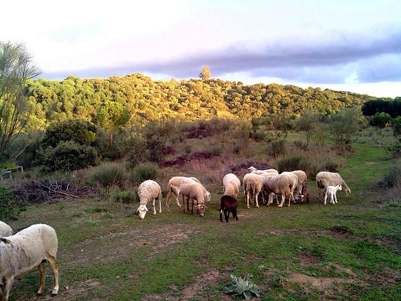 Granja La Ruidera, Gallinas en semilibertad