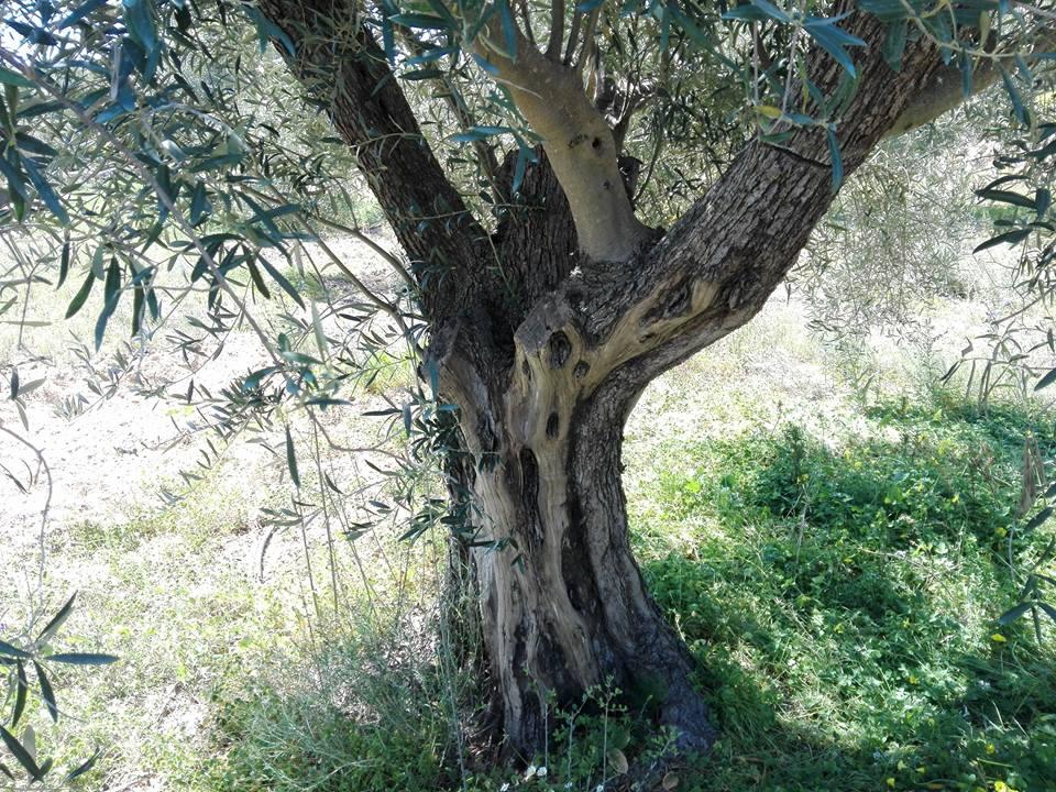Oli de Xábia